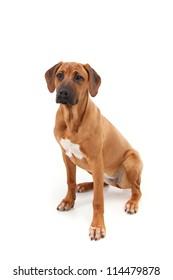 Rhodesian Ridgeback puppy sitting on a white background