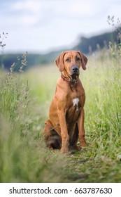 Rhodesian ridgeback puppy sitting on a nature background.