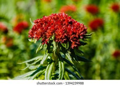 Rhodiola linearifolia in spring garden.Red flowers of Rhodiola  in the garden. Medicinal plant in the garden.