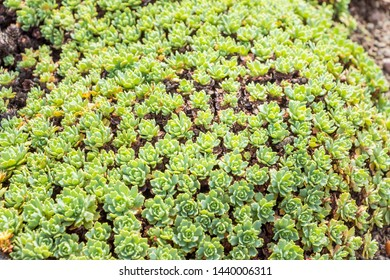 Rhodiola pachyclados. Gray Stonecrop, Silver Gem Stonecrop. Crassulaceae, Rhodiola. Carpet of small, succulent, blue-green rosettes, that look a bit like mini Sempervivum clustered tightly together.