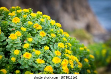 Rhodiola rosea arctic flower close up view