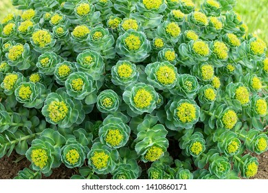Rhodiola rosea blossom by springtime at solar day.Beautiful green background
