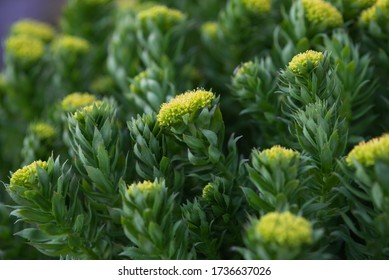 Rhodiola rosea close-up after sunset.