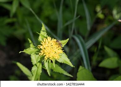 Rhodiola rosea (commonly golden root, rose root, roseroot, western roseroot, Aaron's rod, Arctic root, king's crown, lignum rhodium, orpin rose).