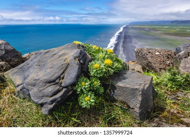Rhodiola rosea - commonly knows as Golden root or Artic root on Dyrholaey foreland in Iceland