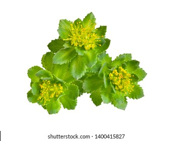 Rhodiola rosea or golden root, rose root, roseroot, Aaron's rod, Arctic root, king's crown, lignum rhodium, orpin rose