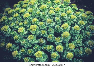 rhodiola rosea, grows in the garden with a dense cover, small yellow flowers on the top of the plant, growing outside in the garden