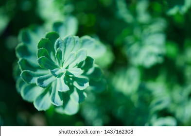 Rhodiola rosea plants outdoors green background. This flower has strong medical effect. - Image
