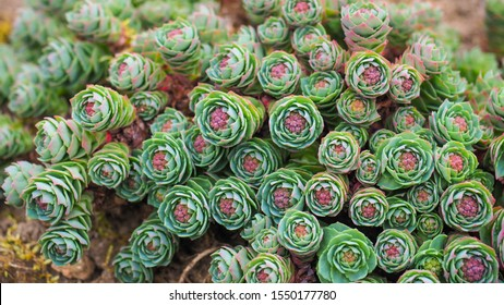 Rhodiola rosea or Sedum roseum fleshy flower close up. Aaron's rod or golden rose root two-tone young succulent herb with silvery green leaves and pink buds. Arctic root or king crown Stonecrop plant.