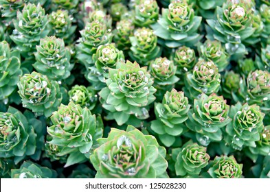 Rhodiola rosea with water drops on leaves