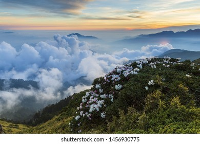 Rhododendron against the sea of cloud in Hehuan Mountain, Nantou,Taiwan