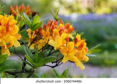 Rhododendron  Azalea mollis ( Azalea molle )  Bush with yellow flowers in garden on green bokeh backgraund