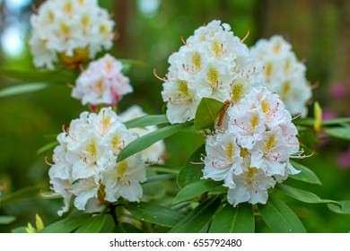 Rhododendron beautiful flower