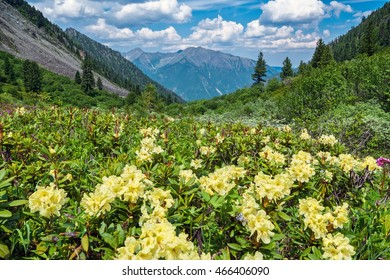 Rhododendron bloom in the mountains, Tunka range, Siberia