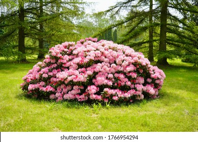 Rhododendron , blooming azalea - beautiful flowering decorative shrubs
