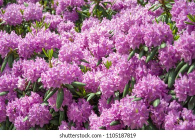 Rhododendron bush covered with a mass of pink flowers
