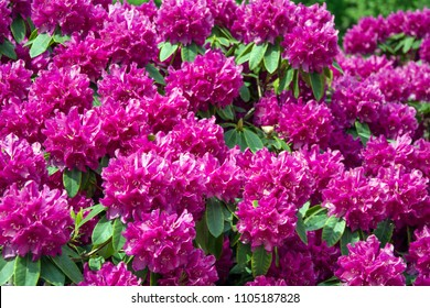 Rhododendron bush covered with a mass of purple flowers