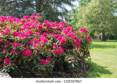 Rhododendron bush covered with red flowers - grass and trees in the background
