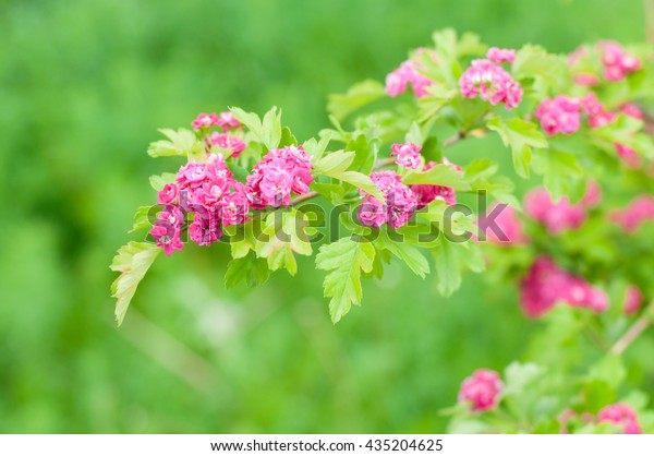Rhododendron Bush Pink Flowers Summer On Stock Photo Edit Now