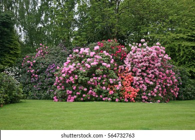 Rhododendron Bushes