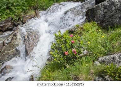 Rhododendron ferrugienum / alpenrose by the stream on the Sharr mountain, Piribeg summit on Kosovo