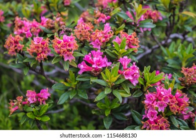 Rhododendron ferrugienum / alpenrose on the Sharr mountain, Piribeg summit on Kosovo