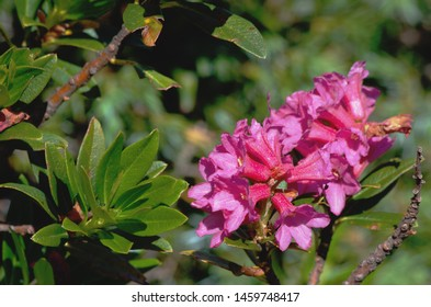Rhododendron ferrugineum ( commonly known as alpenrose, snow-rose, or rusty-leaved alpenrose )