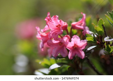 Rhododendron ferrugineum commonly known as alpenrose, snow-rose, or rusty-leaved alpenrose