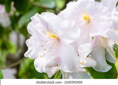 Rhododendron flower at Himenosawa park