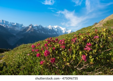 Rhododendron flowers against the backdrop of Mont Blanc in the French Alps, Europe. La Blanc