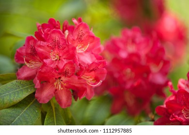 Rhododendron flowers, blooming colorful bush. Summer floral background. Blooming rhododendron in botanical garden