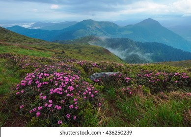 Rhododendron flowers in Carapthian Mountains