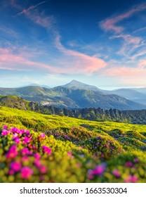 Rhododendron Blumen bedeckte Berge Wiese im Sommer. Liles Sonnenaufgangslicht, das im Vordergrund leuchtet. Landschaftsfotografie