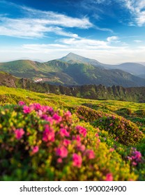 Rhododendron flowers covered mountains meadow in summer time. Beauty sunrise light glowing on a foreground. Landscape photography