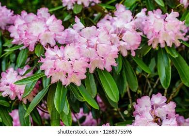 Rhododendron flowers in garden. Spring background.