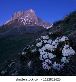 Rhododendron flowers on background of Chaukhi Mountain, Caucasus
