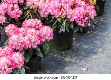 Rhododendron flowers in plastic pots on sale in plants nursery at spring.