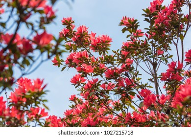 Rhododendron flowers, the symbol of Phuluang wildlife sanctuary, Thailand
