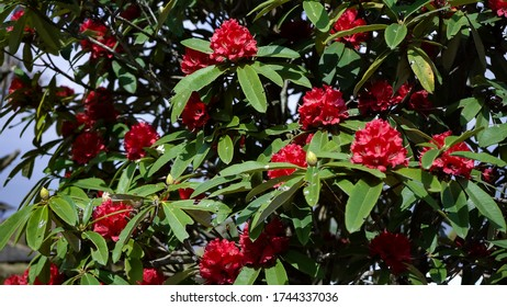 Rhododendron flowers,green nature background,Red rhododendron flowers