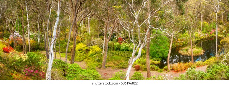The Rhododendron garden panorama in Blackheath, Blue Mountains, Australia is unique in the world. Here you can find exotic plants like rhododendrons and azalea under Australian native bush.