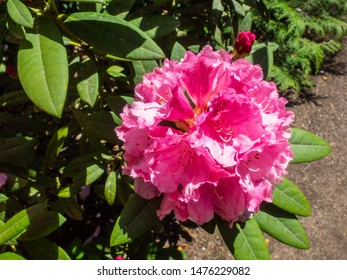 Rhododendron is a genus of 1,024 species of woody plants in the heath family (Ericaceae), either evergreen or deciduous, and found mainly in Asia