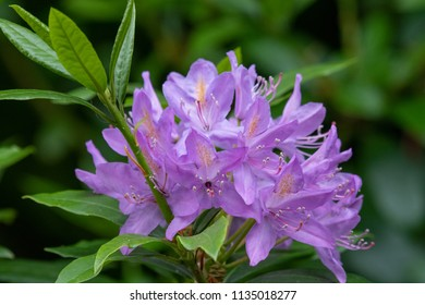 Rhododendron grows in the botanical garden, in full bloom