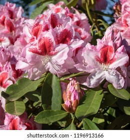 Rhododendron Hybrid Belami (Rhododendron hybrid), close up of the flower head in sunshine