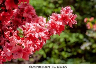Rhododendron Hybrid Cultivar (Azalea hybrida) in arboretum, Washington DC, USA