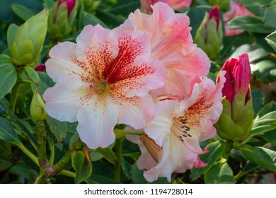 Rhododendron Hybrid Peggy (Rhododendron hybrid), close up of the flower head
