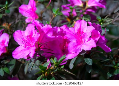Rhododendron indicum Azalea indica, pink azalea in bloom, organic garden Guatemala.