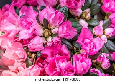 Rhododendron indicum Azalea indica, pink azalea in bloom, organic garden Guatemala