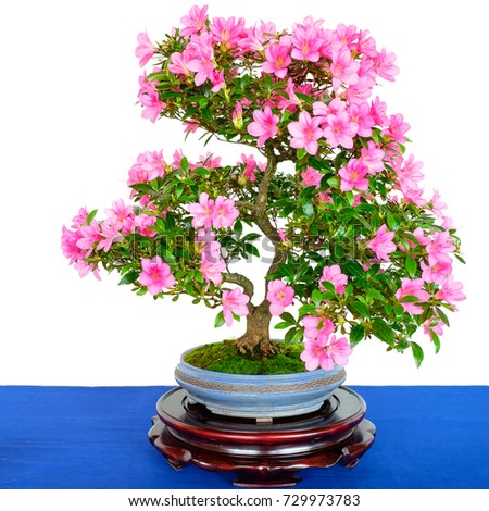 Rhododendron indicum bonsai tree pink flowers stock photo edit now rhododendron indicum bonsai tree with pink flowers white isolated mightylinksfo