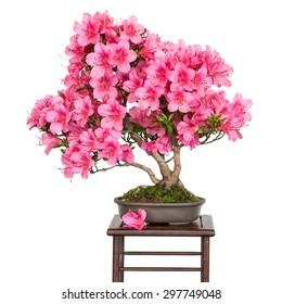 Rhododendron indicum Osakazuki als Bonsai-Baum mit rosafarbenen Blumen