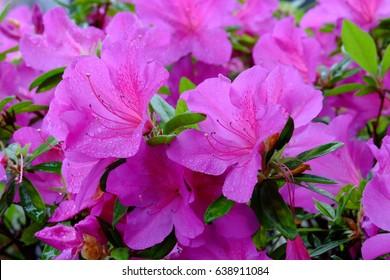 Rhododendron indicum (Satsuki azalea) wet in the rain